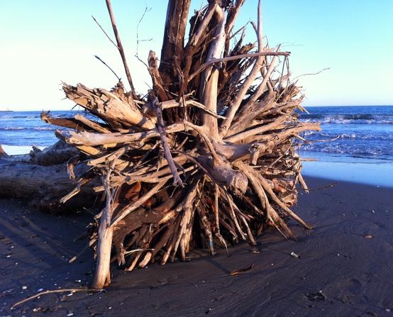 Driftwood stumps