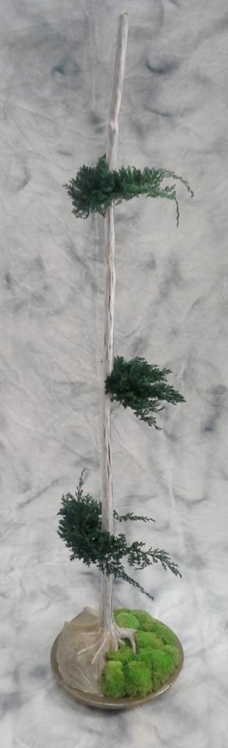 Bonzaï avec du junipérus de 2m de hauteur