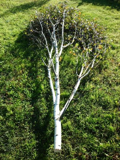 branchages de bouleau avec feuilles