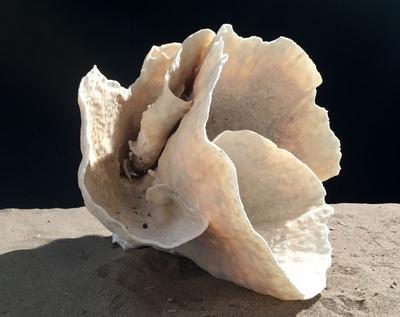 Corail cup 50cm