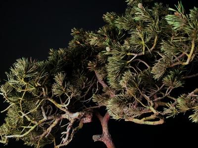 Le pin sylvestre en végétaux stabilisé