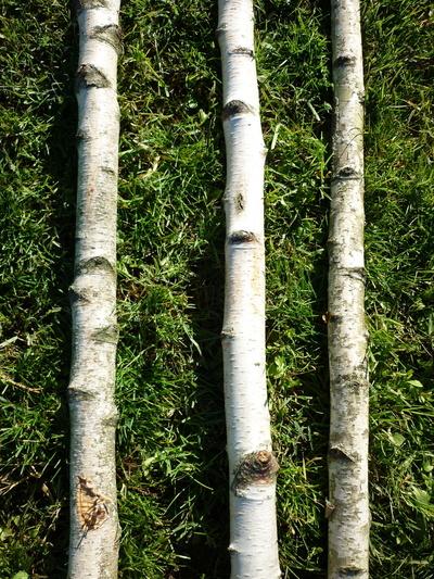 Troncs de bouleau de 3m en 5 à 7cm de diametre