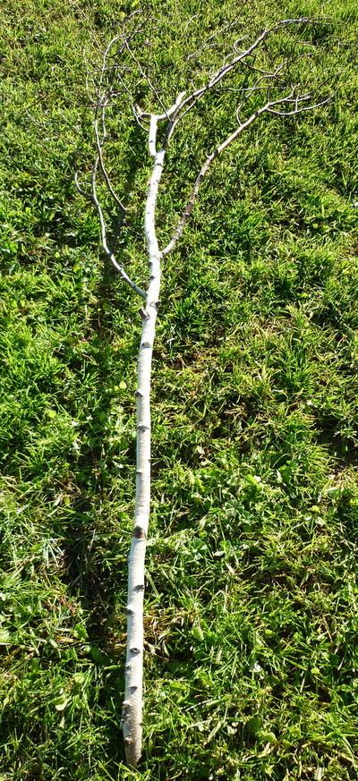 Branchages de bouleau sans feuilles de 2m à 2m50 entre 3 et 5 cm de diamètre