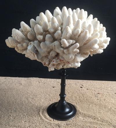Corail doigt 25cm monté sur socle