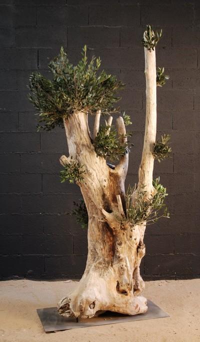 Un olivier centenaire de 2m50 de hauteur