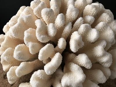 corail patte de chat 40cmx36cm