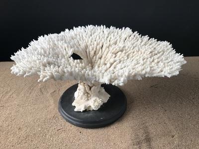 Corail table 35cmx43cm