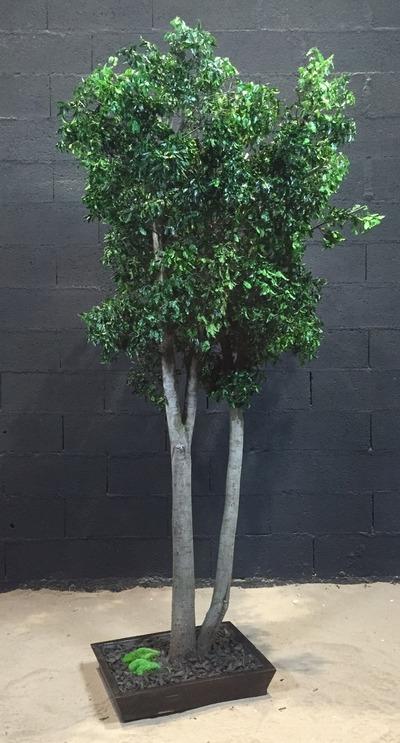 Pittosporum vert