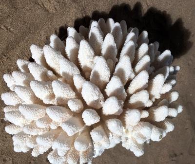 Corail doigt 25cm