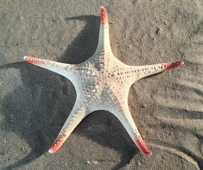 Etoile de mer rouge