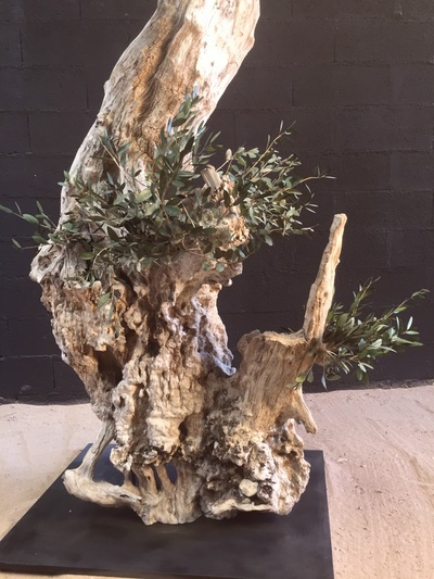 Centennial olive tree stabilized 3m high