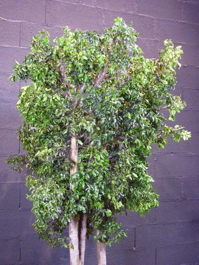 Un pittosporum vert en arbre stabilisé