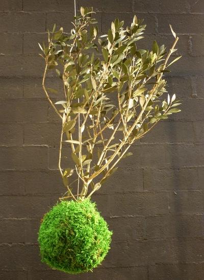 kokedama olive tree